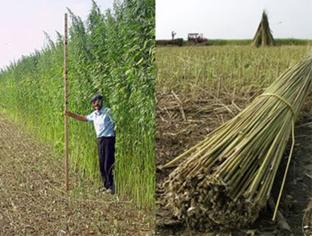 Hemp as an agricultural product