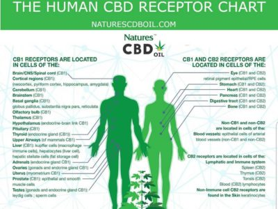 chart of the cbd receptors in the body