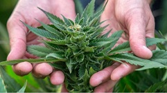 Image of hands holding a bud of cannabis